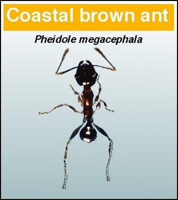 Coastal Brown Ant - Pest in North Mackay, QLD