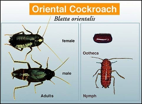 Oriental Cockroach - Pest in North Mackay, QLD