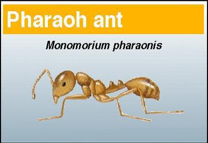 Pharaoh ant - Pest in North Mackay, QLD